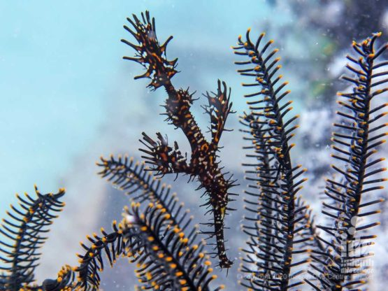 Ornate Ghost Pipefish is a common sight at Koh Dok Mai macro dive Phuket