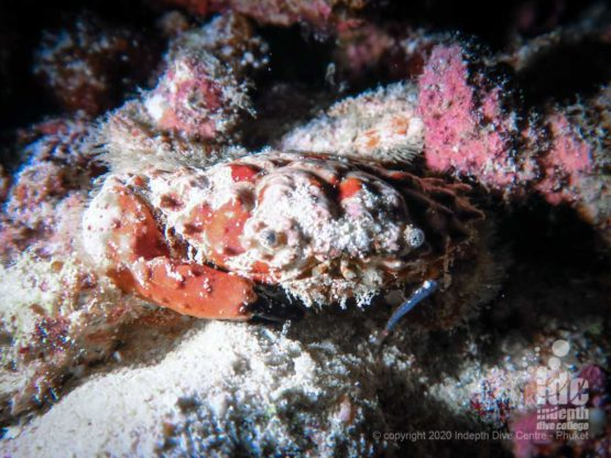 Night dives at Koh Haa lagoon allow divers to spot many particular critters including crabs