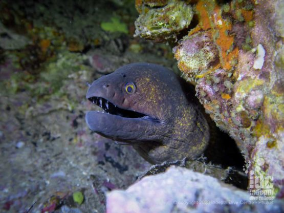 The reef on Koh Haa Neua is home to a large number of moray eels, you can easily spot dozens of them in a single dive