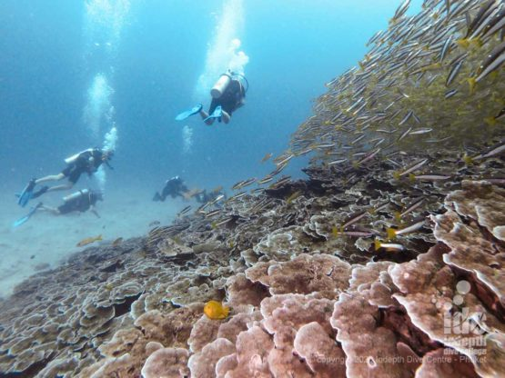 Resident school of Yellow Snappers at Koh Haa Neua
