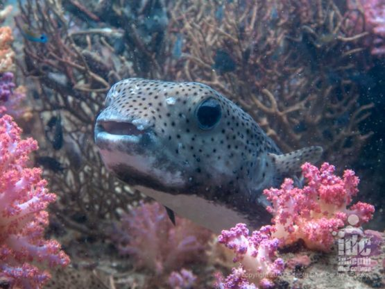 Porcupine fish among the beautiful corals of Koh Haa Yai