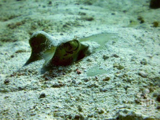 Kuhls sting ray hiding in the sand on Shark Point Phuket