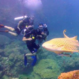 Diving with Leaopard Sharks with Indepth Dive Centre at Maritas Rock & Marina Bay Racha Noi