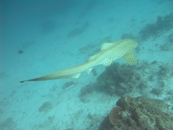 Leopard Shark at Ko Bon West Ridge