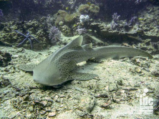 Leopard shark at Koh Bida Nai Dive Site
