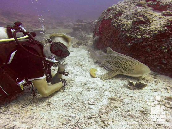 Close ancounters with Leopard Sharks (Zebra Shark) are the highlight of diving at Hin Bida Dive Site