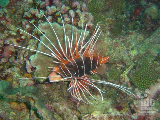 Lion Fish are a popular fish at Stewart Island