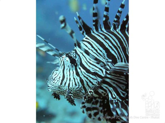 Lion Fish photographed by a Rebreather Diver at Western Rocky Burma