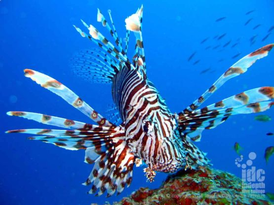 Lion Fish at Hin Muang in the South Admaman Sea