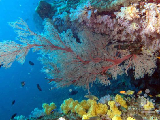 Stunning photo of Sea Fans taken at Beacon Reef on a Similans Liveaboard Safari