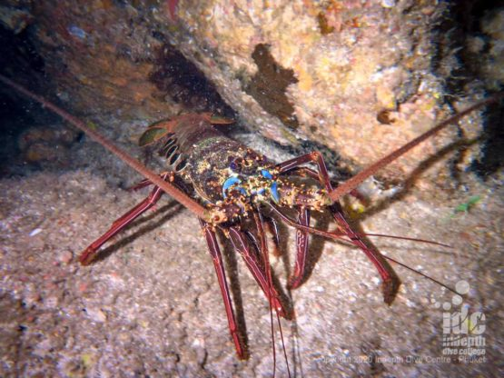 Large lobsters come out of their shelters during Koh haa Lagoon night dives