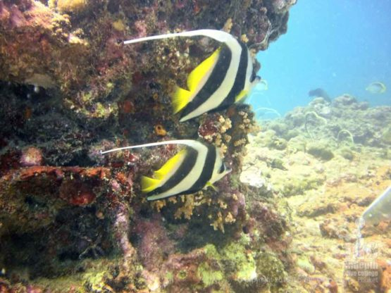 Long Banner FIsh or Moorish Idol at Racha Yai Bay 3 Phuket