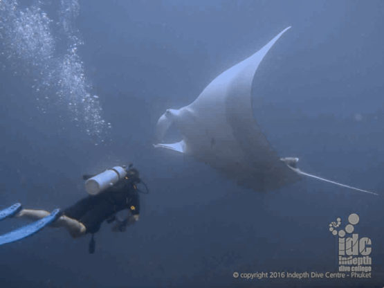 Hin Dang is one of the Thailand dive sites that offer the best chances to have a close encounter with oceanic manta rays