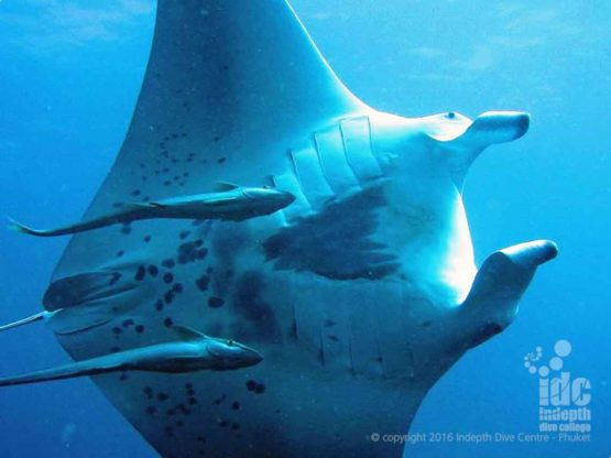 Mantas are usually seen by Indepth at Hin Daeng