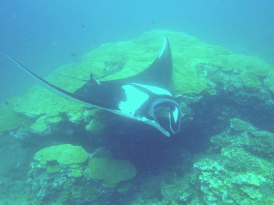 Diving with Mantas at Ko Bon West Ridge