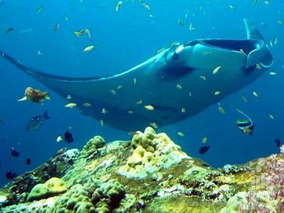 Manta seen on a scuba dive at Black Rock Burma