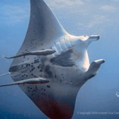 Manta Rays are a common encounter on Tachai Pinnacle when in season - Thailand Manta diving