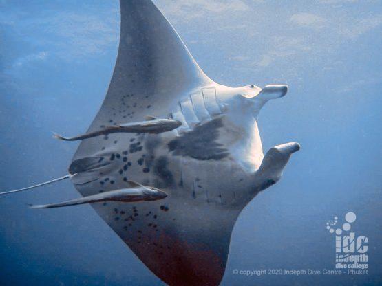 Manta Rays are a common encounter on Tachai Pinnacle when in season - Thailand Manta diving