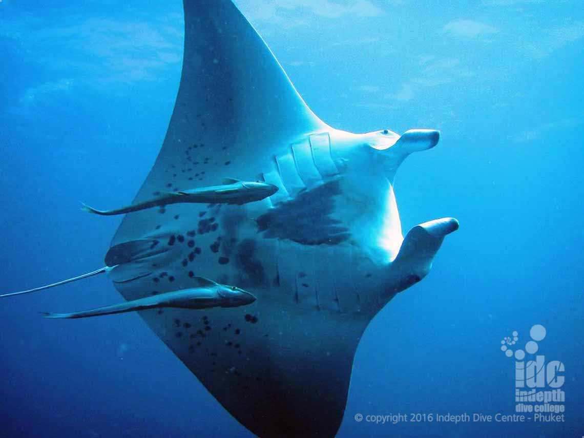 Ko Tachai Pinnacle is the best dive site in Thailand for Manta Rays with Indepth Dive Phuket