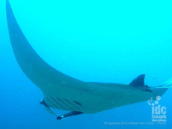 Manta Ray spotted while diving Hin Muang on a Phuket Liveaboard
