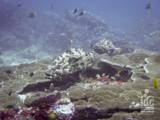 Large marble groupers at Maritas Rock