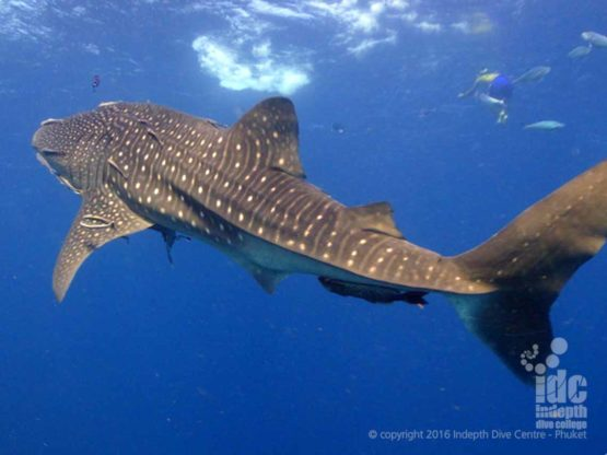 If you are lucky you might dive with a Whale Shark at Maritas Rock & Manta Bay
