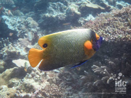 Beautiful masked angelfish often spotted at Breakfast Bend SImilan Islands