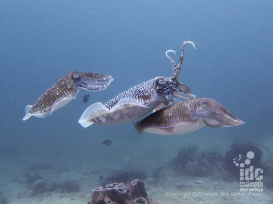 Mating cuttlefish are amazing and a frequent sight when scuba diving at Shark Point Phuket