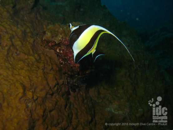 Moorish Idol spotted on a Night Divee at Ko Tachai Reef Surin Islands