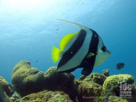 Banner Fish are easily confused with Moorish Idols at Bungalow Bay Phuket