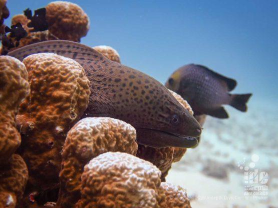 Moray eels are a common encounter when diving at Banana Bay Racha Noi