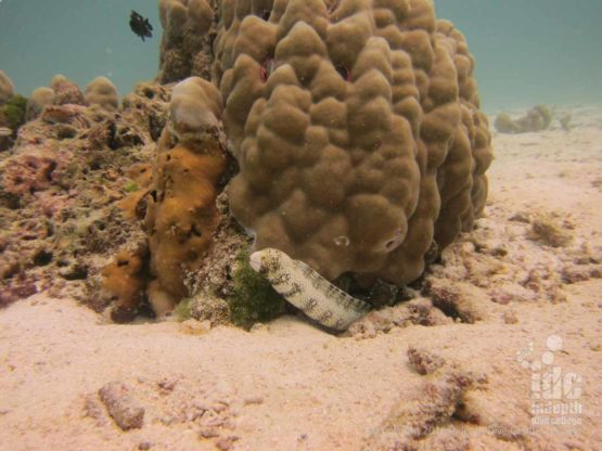 Moray Eel at Donald Duck Bay in The Similans