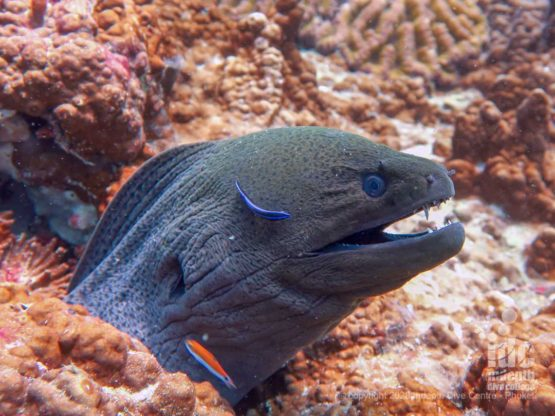 Giant Morays are abundant at East of Eden Dive Site Similan Islands