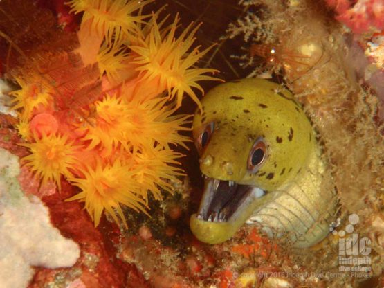 Moray Eel on one of our House Reefs on Phuket