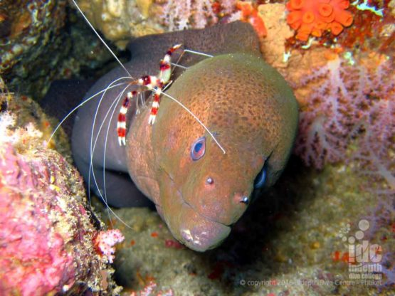 When scuba diving with Indepth Dive Centre you will see lots of Moray Eels at Anemone Reef