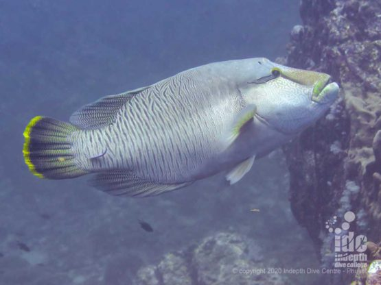A family of Napoleon Wrasses lives around Breakfast Bend and it's one of the highlights of the dive site when divers are lucky enough to meet them