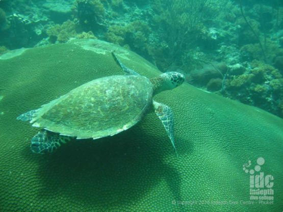 PADI Naturalist Instructor gets to dive with a turtle with Indepth Phuket