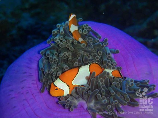 Nemo your Clown Fish at Western Rocky on a Burma Liveaboard