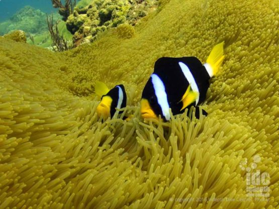 Nemo your friendly Clow Fish at Racha Yai Bay 3 Phuket
