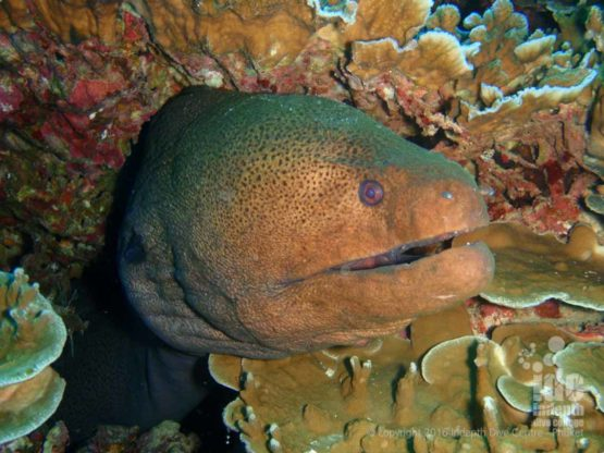 Ko Tachai Reef is great for Night Diving with Moray Eels