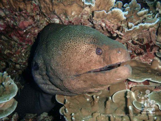 Giant moray at Tachai Reef Similan Dive Sites