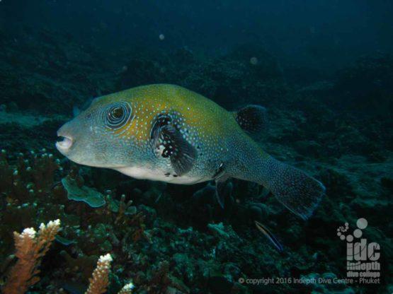 Night Dive for Beginners at Honeymoon Bay Similan Islands