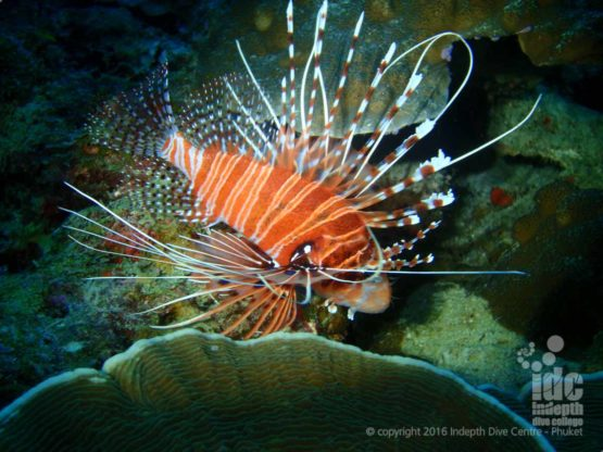 Night Dive at Ko Tachai Reef with Lion Fish and Indepth Dive Centre