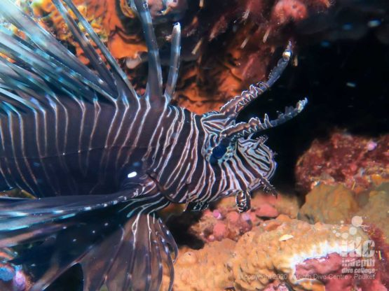 Lionfish at Twin Cheeks dive site Myanmar