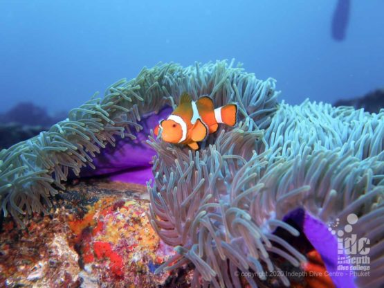 Nemo Clownfish at North Twin Pinnacle - Burma Diving Liveaoard