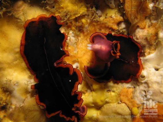 There are many Nudibranchs at Kata Beach House Reef