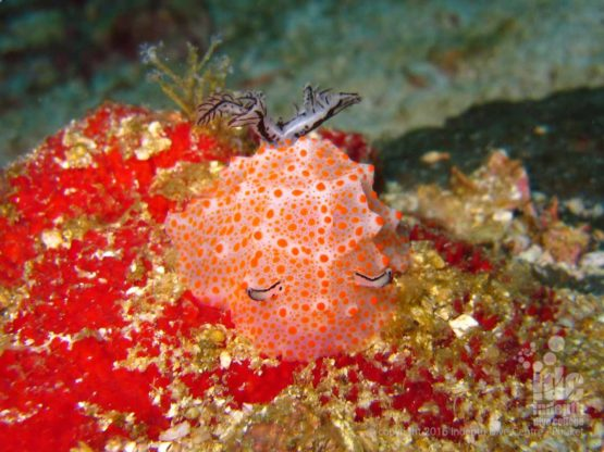 Nudibranch are great for macro photography at Honeymoon Bay