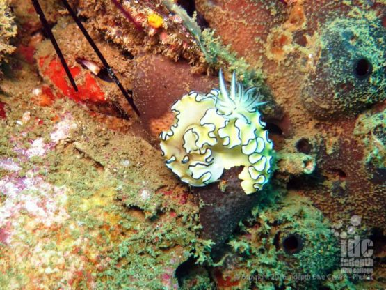 There are many different Nudibranchs at Ko Doc Mai Phuket Thailandare