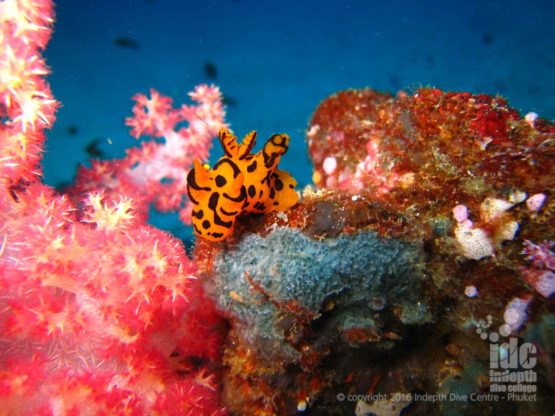 Nudibranchs make great photo subjects for Digital Underwater Photo Specialty Course on Phuket