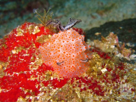 Lots of Nudibranchs can be seen scuba diving at Three Islets